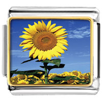 - sunflower in sunshine photo italian charm Image.